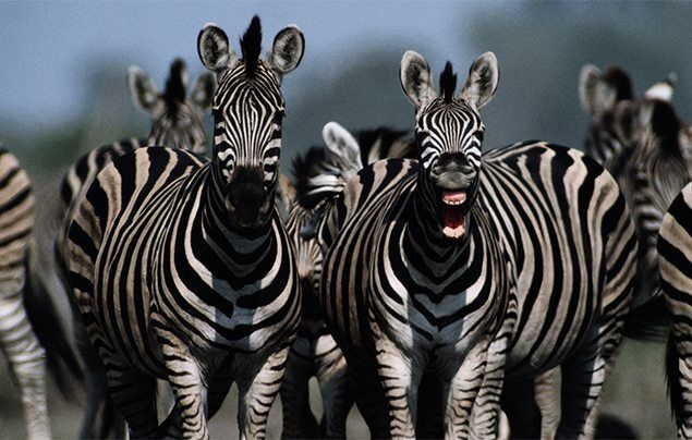 9 As elegant and peaceful as they are don t be fooled – zebras can be aggressive animals too Stallions fight for females with piercing bites and