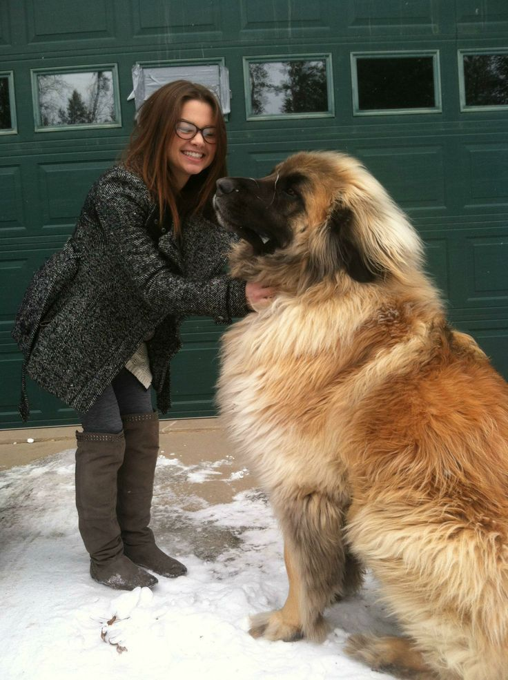 Simba The Leonberger funny dogs dog animal pets humor funny animal pictures leonberger
