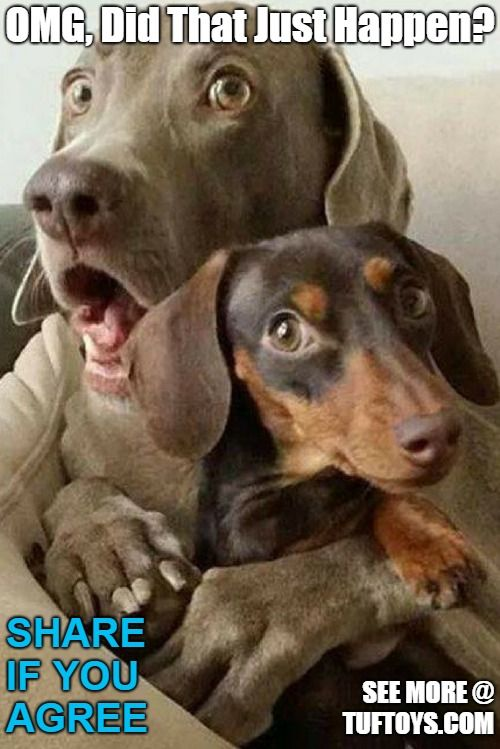 a cute doberman and a dachshund forting each other in a time of confusion hilarious picture of a fussy dog