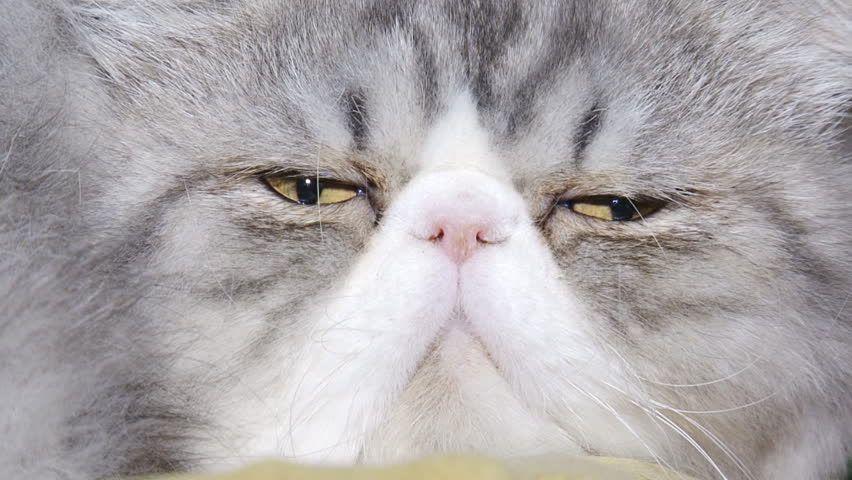 close up funny purebred cat