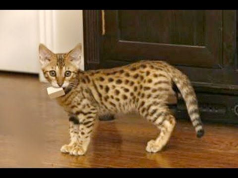 Savannah Cats Are So Adorable Funny And Cute Big Cat Videos pilation 2016