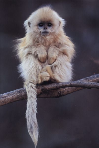 monkey chinese monkey snub nosed monkey cute adorable baby animal