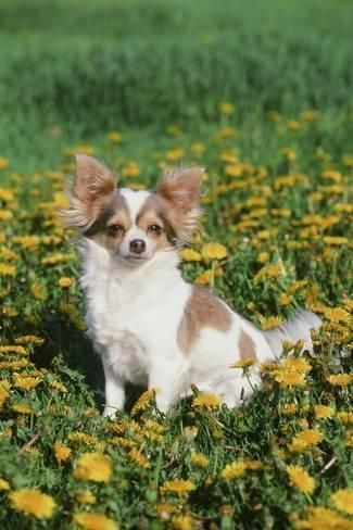 Take the Fascinating Funny Papillon Dog Pictures