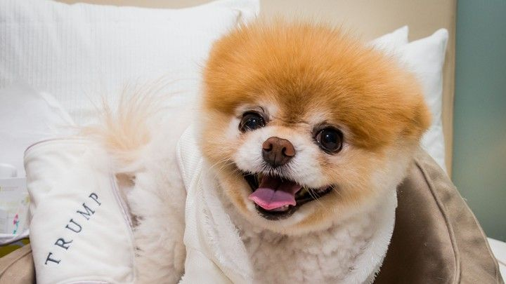 Boo The World s Cutest Dog at a luxury penthouse at Trump International Hotel in Las Vegas AP