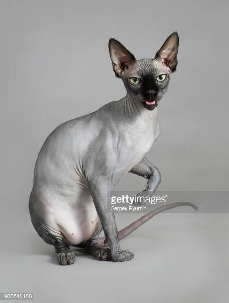 Sphynx cat on gray background