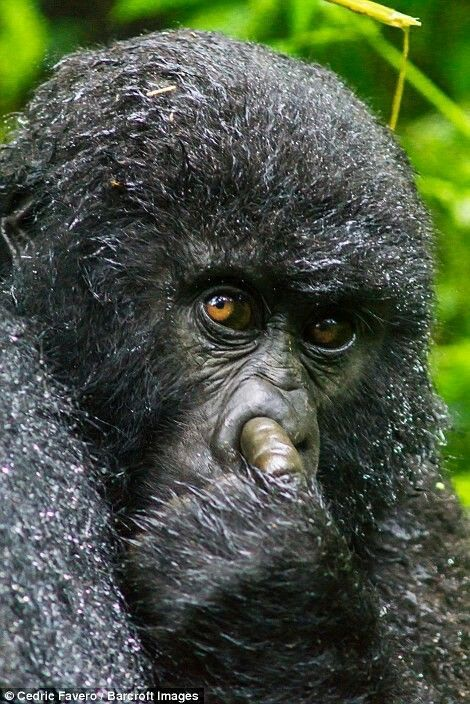 Excuse me I have a Boggie up my Nose Funny Mountain Gorilla pictured in Rwanda on the right has been caught picking its nose