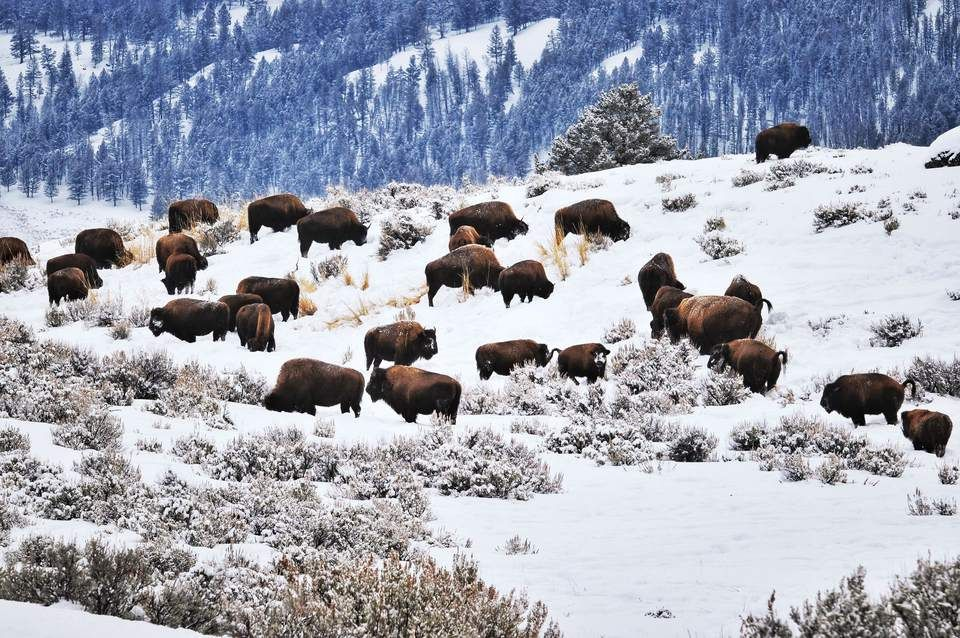 Herd of American bison grazing during the cold winter in the Lamar Valley in Yellowstone National
