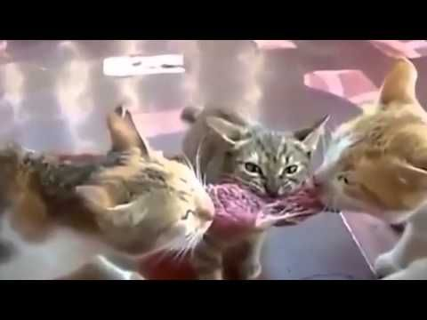 Funny cats fight over food must see