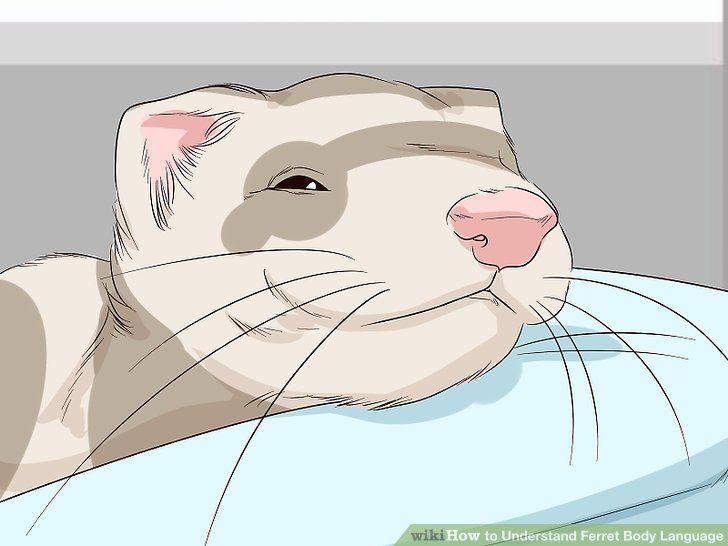 Image titled Understand Ferret Body Language Step 15