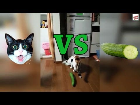 Cats vs Cucumbers pilation