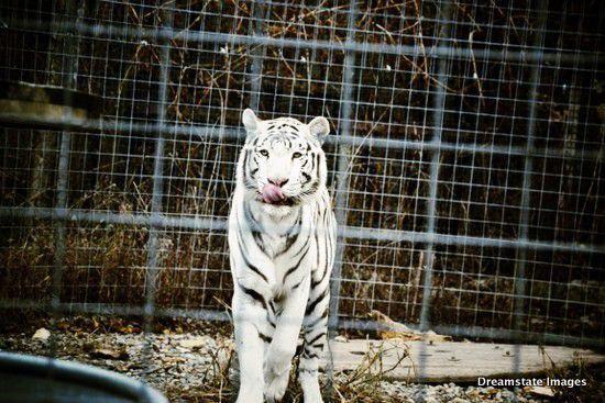 Big Cats The Exotic Feline Rescue Center