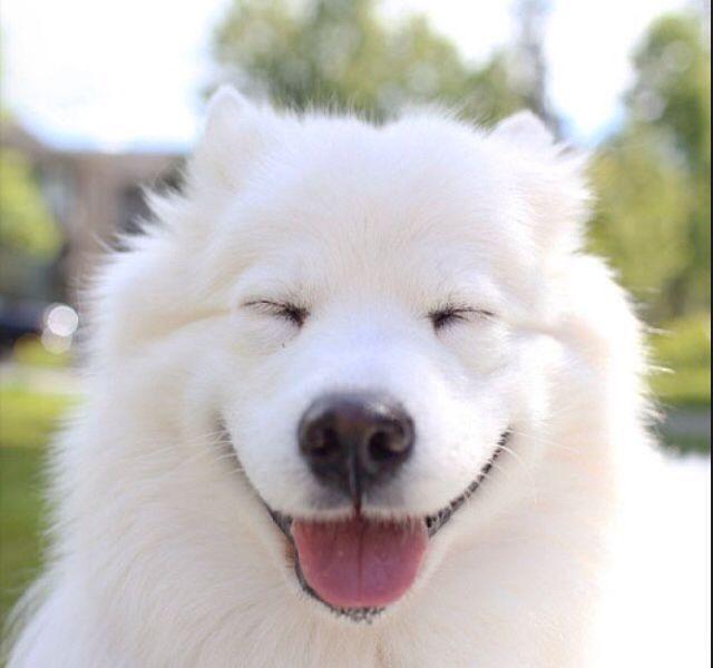 Samoyed Dog Memes Funny Memes Funny Dogs Birthday Memes Happy Birthday Dog