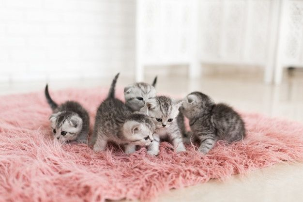 Five little grey kittens lie on a pink carpet