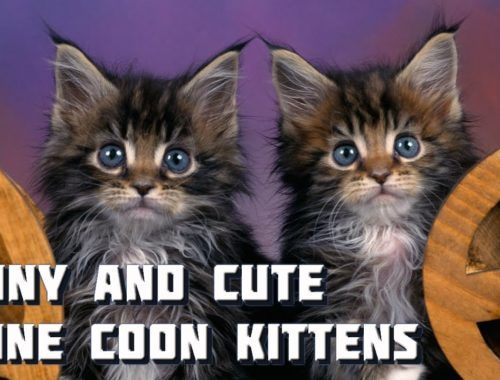 Maine Coon Cat Video – Funny and Cute Maine Coon Kittens