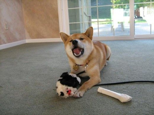 Shiba dog barking with funny face Playing with a soft Panda toy and a white