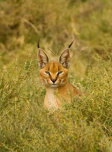 C is for the Cute Caracal Cat with Crazy black tipped ears It s best known for its spectacular skill at hunting birds able to snatch a bird in flight