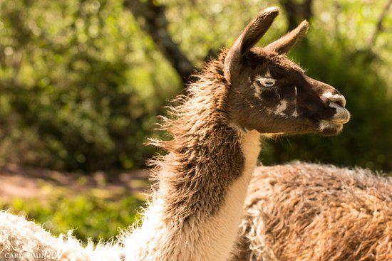 Do you want to know differences between alpacas and llamas Review of Santuario Animal de Cochahuasi Cusco Peru TripAdvisor