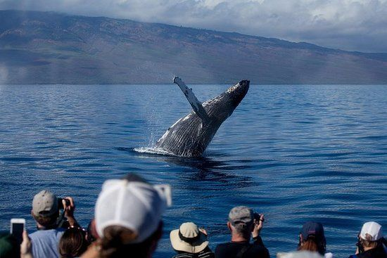 Whale Watching from Lahaina Harbor