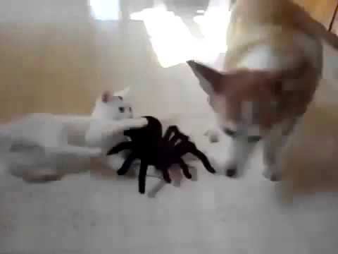 Cat Vs Giant Spider funny cat vidios