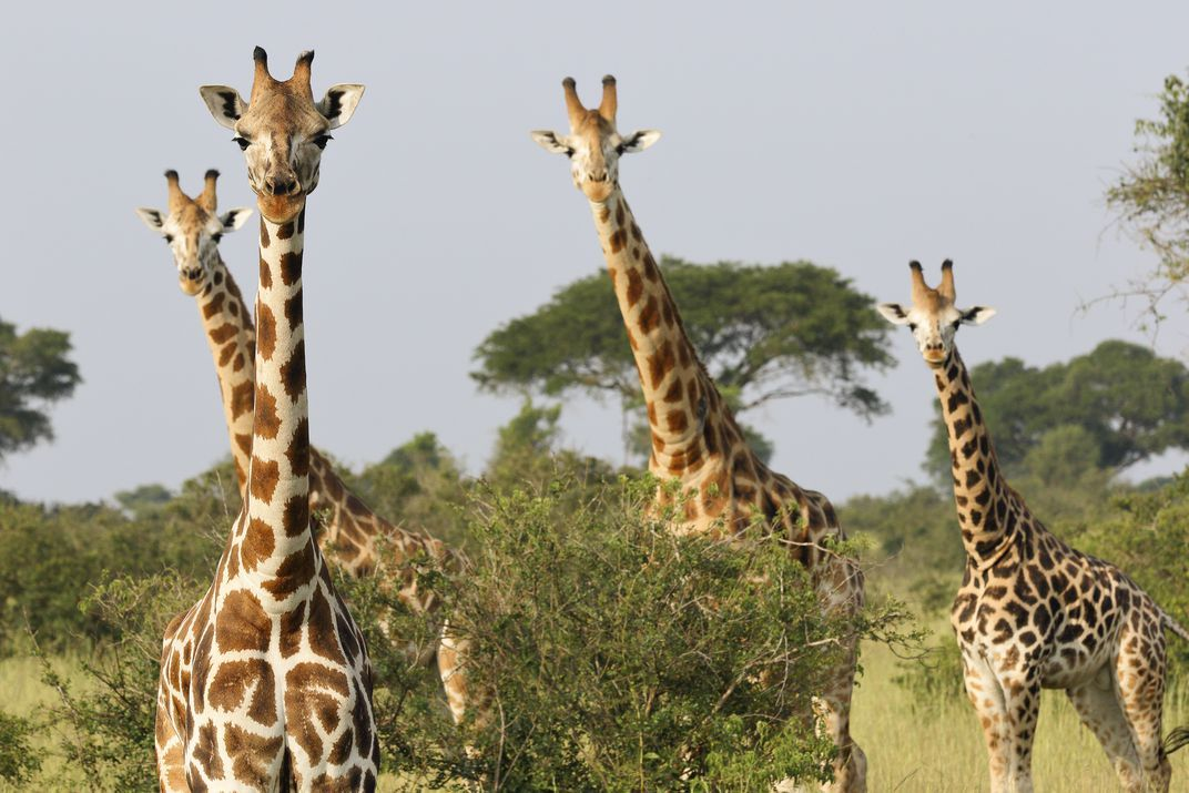 There are some 1 500 Rothchild s giraffes in the wild and 450 in zoos around the world Melissa Groo