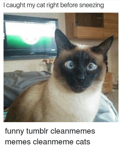 Cats Memes and 🤖 caught my cat right before sneezing funny tumblr cleanmemes