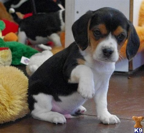Beagle Pups Pug Puppies Pugs Beagles Funny Dog s Puppy