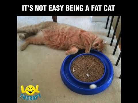 Fat cats pilation Funny Videos pilations
