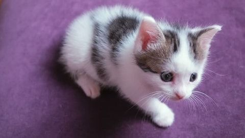 Very small kitten two weeks old Cute funny kitten watches the toy Little baby