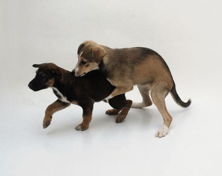 Puppies performing humping play