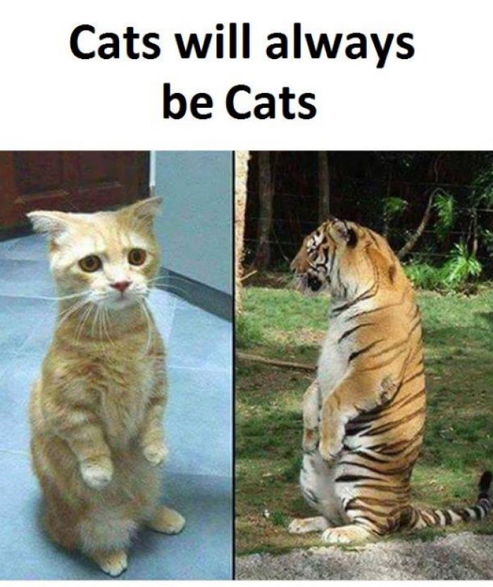 Posts Details Tags Cats will always be cats Categories Funny animal memes jokes and pictures Funny cat memes jokes and pictures Funny pictures