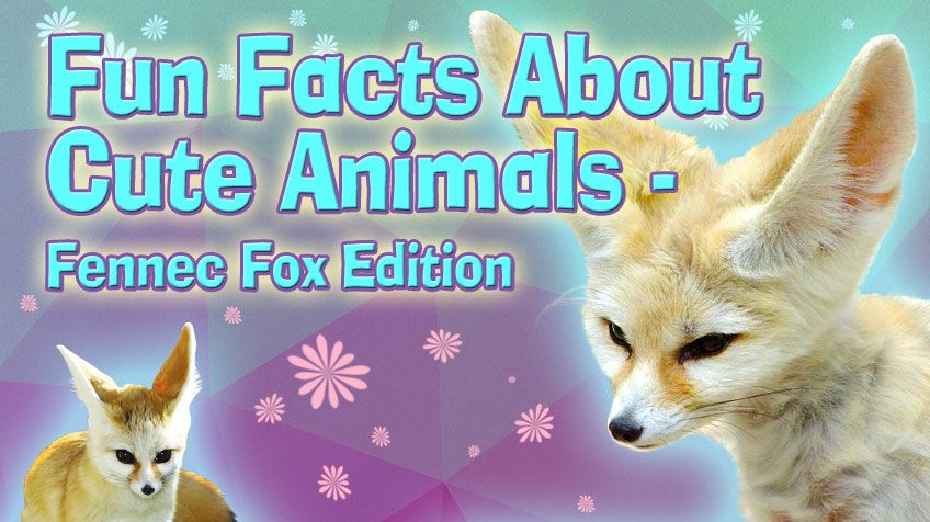 Fennec foxes are really tiny about the size of a small cat when grown They look like miniature foxes except for one big difference – their ears