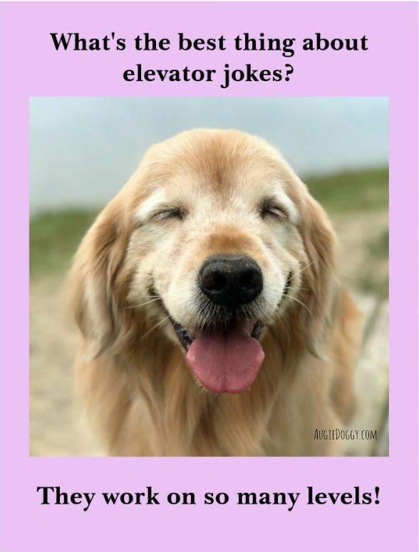 Elevator joke goldenretriever