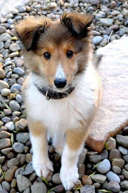 So cute This puppy looks just like my first dog Lu Lu We got her in 1974 when we were both around 1 She lived 15 years I miss her sweet disposition