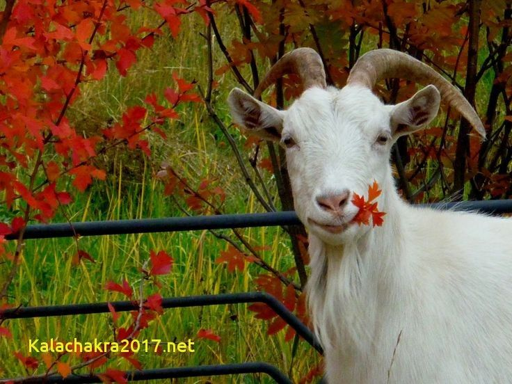 Animal Wallpaper Unique Goat Wallpaper Fresh Nice I 13 0d Saleenaanimal Meme Funny Animal The Day