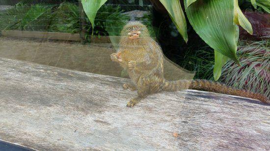 Mogo Zoo Adorable & funny pygmy marmoset
