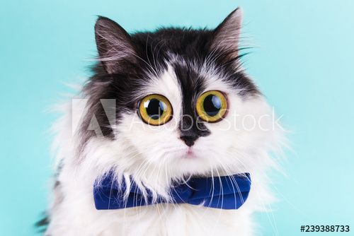 shocked funny cat with big eyes and a bowtie on a blue background