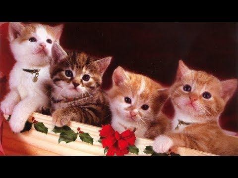 Cute Christmas Kittens Cats Meowing