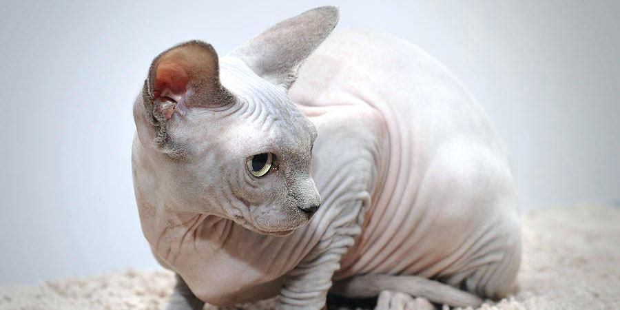 Hairless Cat Picture Funny Sphynx
