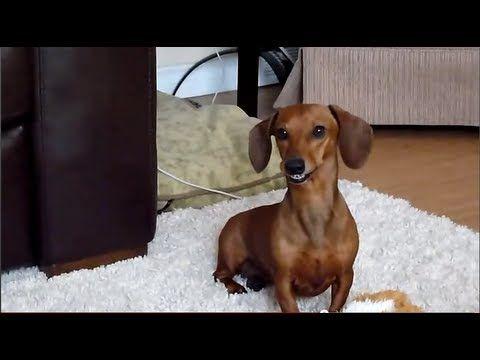 Kalea Smiling Dachshund Wiener Szczęśliwy Jamnik Dog Smiles for the Camera