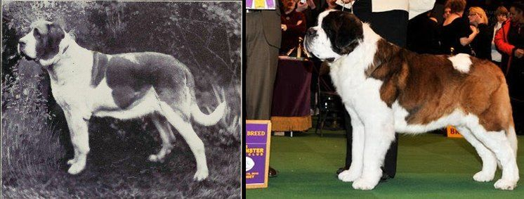 ce a noble working dog the modern St Bernard has been oversized had its faced squished in and bred for abundant skin You will not see this type of