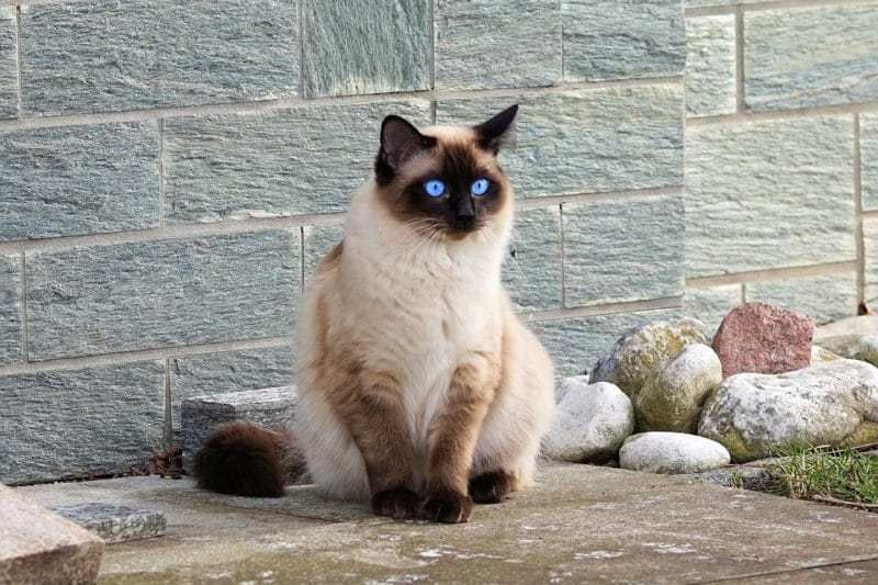 All thinks About Siamese Cats