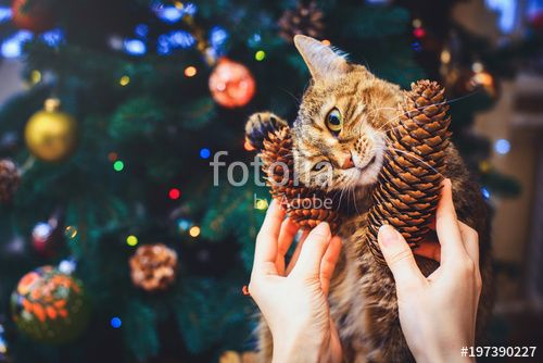 funny cat at home home played with cone Beautiful Christmas background with new year daccor Christmas tree with decorations