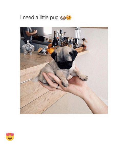 Pugs Girl Memes and Pug need a little pug 😍
