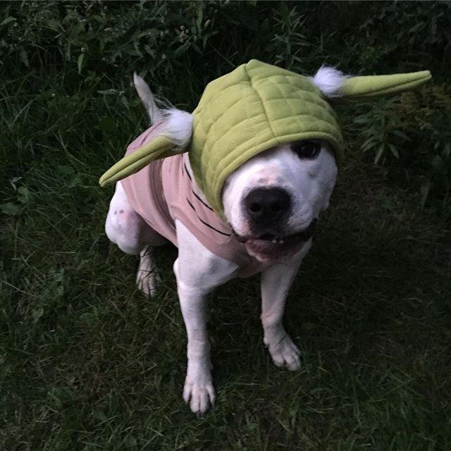 Inspiration & Accessories DIY Star Wars Yoda Halloween Dog Costume Idea yodacostume