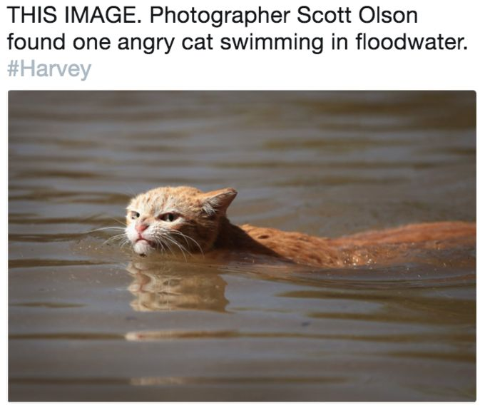 grapher Scott Olson found one angry cat swimming in floodwater Harvey
