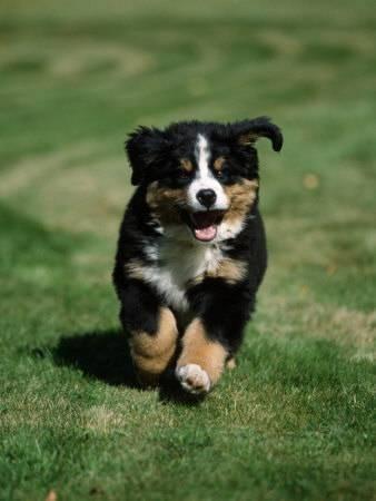 petra wegner bernese mountain puppy running u L Q10NZ3J0