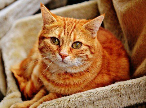 Cat Hangover Red Cute Mackerel Tiger Sweet