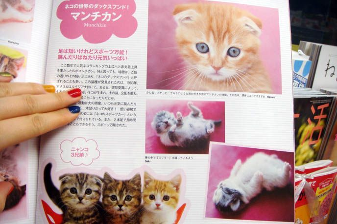 JAPANESE CAT MAGAZINE SCOTTISH FOLD KITTENS FOR SALE CLASSIFIEDS LISTING IN JAPAN PET PUBLICATION
