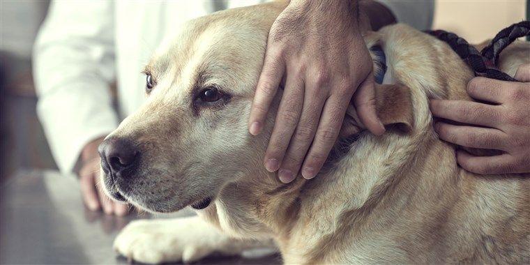 Close up of a Labrador Dog at the Vet s fice