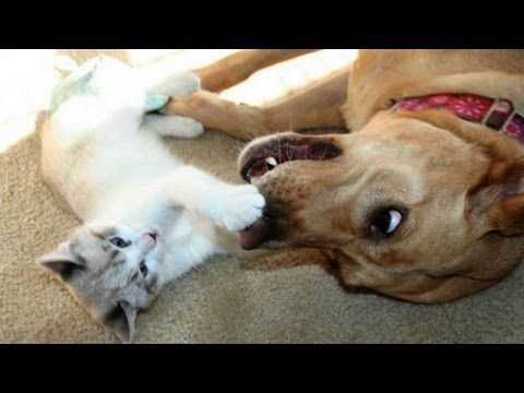 Cute cats and dogs playing to her Funny dog & cat pilation